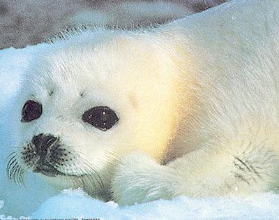 тюлени отправляют СМС-ки